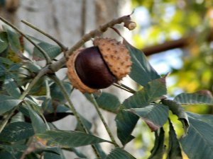 Chestnut and shell on tree